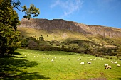 View of sheep grazing on pasture by mountain in Ireland