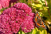 Close-up of pink stonecrop with butterfly on top