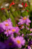Close-up of butterfly on purple daisy