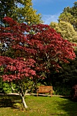 Red deciduous tree and garden bench in Mount Usher Garden, Ashford, Ireland