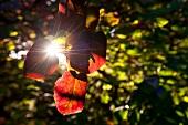 Laubbaum, rote Blätter, Sonnenschein close-up.