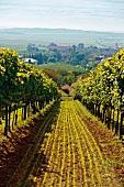Blick durch Weinreben auf Obermarkersdorf, Weinviertel