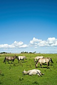 Ostseeküste: Geltinger Birk, Weide, Konik-Pferde, blauer Himmel