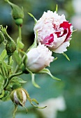 Close-up of rose flowers and bud
