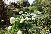 Ostseeküste: Garten, Ballhortensie weiss, sommerlich