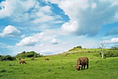 View of landscape with cattle grazing in Scottish Highland