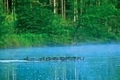 Himmel auf Erden, Entenkolonne auf einem Gewässer bei Regen