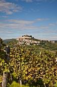 Kroatien: Dorf Motovun, Weinstock
