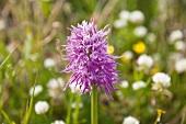 Close-up of purple Italian orchid