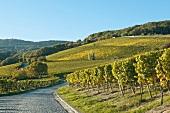 View of vineyard in Germany, Rheingau, Eltville, Kloster Eberbach