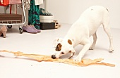 Hund Betty, Mischling, gefleckt, macht Faxen, zerrt an BH