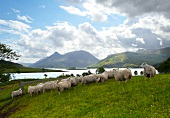 Herd of sheep grazing in Scotland
