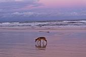 Dingo at beach in Fraser Island, Queensland, Australia