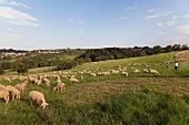 Flock of sheep eating grass at Valley Lauterbach gorge, Blieskastel, Bliesgau, Saarland