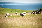 Sheep grazing grass on Moenchgut, Rugen, Germany peninsula