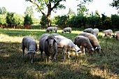 Sheep grazing in meadow orchard, Bieslich, Wesel, Niederrhein, Germany