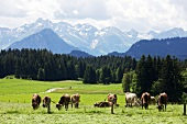 Cattle grazing in pasture at Oberallgaeu, Bavaria, Germany