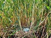 Eggs in nest in Sultansazligi National Park, Cappadocia, Turkey