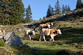 Cattle grazing at chiemgau Alps mountain, Bavaria, Germany