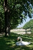 Swan sitting on grass near pond at Kassel, Hesse, Germany