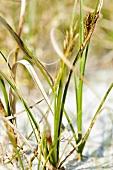 Close-up of beach grass