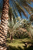 Date and palm trees in Al Hamra, Oman