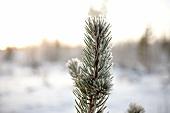 Lappland, Landschaft, Tanne, vereist Zweig