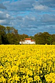 View of rape field, Gutshaus Boldevitz and forest in Rugen, Germany