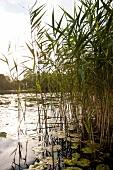 Uckermärkische Seen, Großer Mechow See, Schilf, abendlich, Ufer