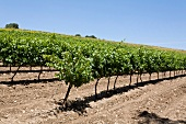 Wine plantation in row at Jezreel Valley, Mount Tabor, Israel