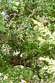 View of Leopard through tree, Yala National Park, Sri Lanka