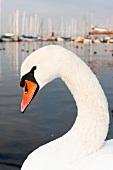 Close-up of Swan, lake Geneva, Lausanne, Switzerland
