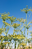 Fennel plant with sky in background, Frankenhausen, Hesse, Germany