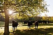 Aberdeen Angus cattle in farm, Witzenhausen, Hesse, Germany