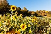 Sunflower field at CSA Freudenthal in Witzenhausen, Hessen, Kassel
