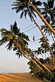Tappers on palm trees at beach, West Coast, Wadduwa, Sri Lanka