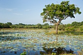 View of water lilies and tree in lake at Yala National Park, Southern Province, Sri Lanka
