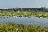 View of bare trees and water lilies in lake at Yala National Park, Sri Lanka