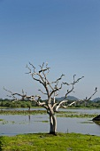 View of bare tree with cranes and pond in Yala National Park, Sri Lanka