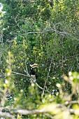 View of Hornbill sitting on tree at Yala National Park, Sri Lanka