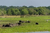 Buffaloes at Yala National Park in Sri Lanka