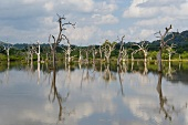 View of bare trees in water at Yala National Park, Colombo, Southern Province, Sri Lanka