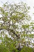 Eagle on tree top at Yala National Park in Sri Lanka