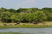 Buffalo grazing on shore at Yala National Park in Sri Lanka