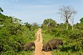 Elephant crossing dirt track in forest at Yala National Park, Sri Lanka