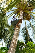 Man climbing on palm tree in Dhigufinolhu island, Maldives