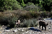 Two wild boar in Dilek Peninsula National Park, Turkey