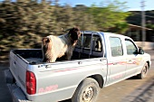Yak in car, Mesudiye, Hayitbuku, Aegean Region, Turkey