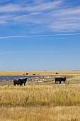 View of cattle on landscape near on Highway 15, Saskatchewan, Canada