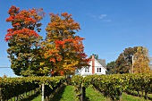 Kanada, Nova Scotia, Canning, Blomidon Estates Winery, Herbstlaub